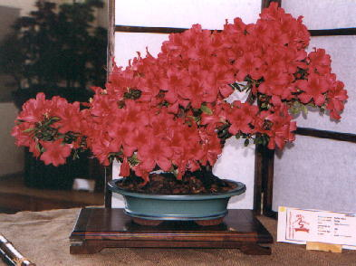 http://glyn4life.tripod.com/bonsai-en/azalea2.jpg